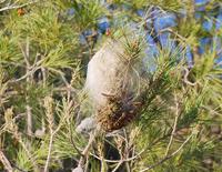 Campaña de control de la procesionaria del pino
